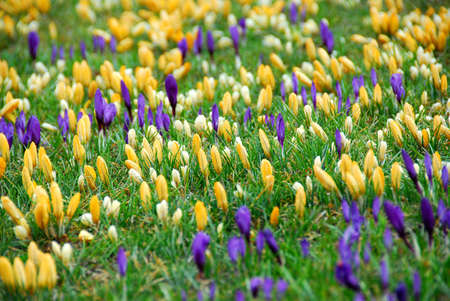 early blossoms: Field of blooming crocuses Stock Photo