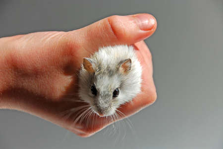 dwarf hamster: Dwarf hamster in childs hand Stock Photo