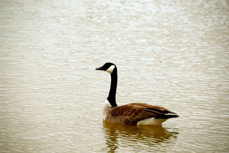 Canada goose swimming photo