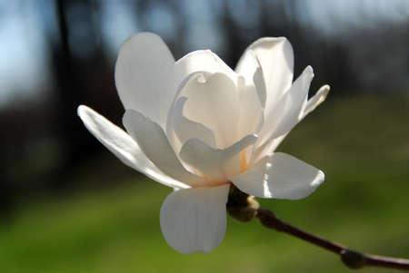 backlit: Retroiluminada Magnolia flor closeup
