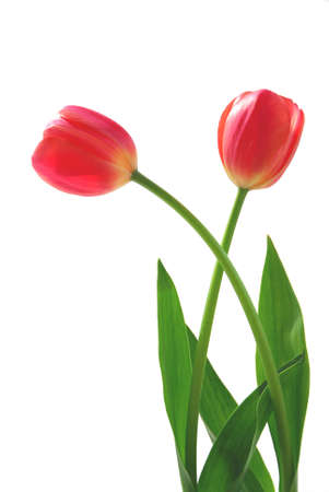 Two pink tulips on white background photo