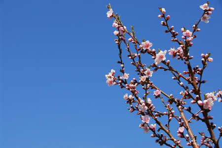 Ramas de árbol de durazno en flor  Foto de archivo - 387563