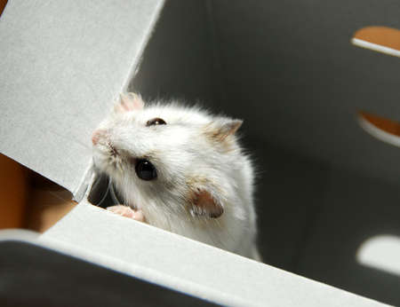 dwarf hamster: White dwarf hamster trying to escape
