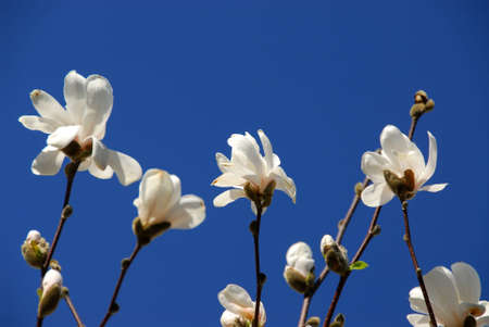 Blooming magnolia on blue sky background photo