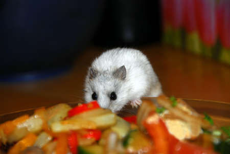 White dwarf hamster stealing food from a dinner plate Stock Photo - 401268