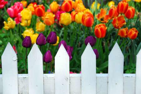 Kleurrijke tulpen behing wit hek Stockfoto