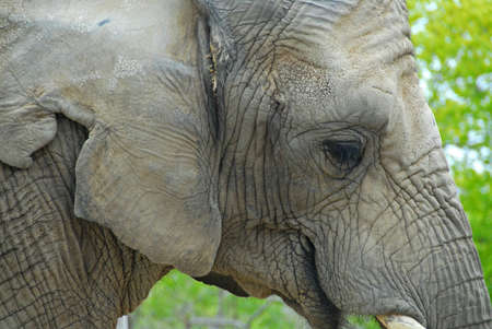 profile: Elephant profile Stock Photo