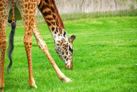 Tall giraffe spreading his legs to reach the grass photo