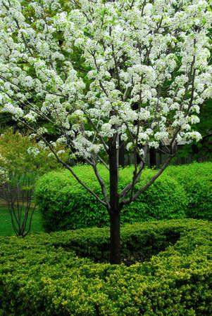 Blooming fruit tree Stock Photo - 408423
