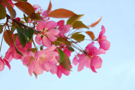 Closeup on blooming apple tree branch, blue sky background