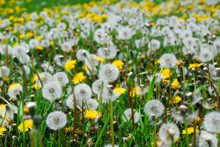 A field of blooming and seeding dandelions photo