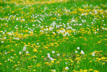 seeding: A field of blooming and seeding dandelions Stock Photo