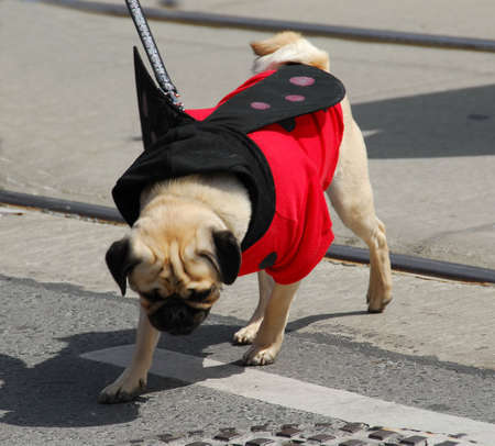 Pug wearing a ladybug costume