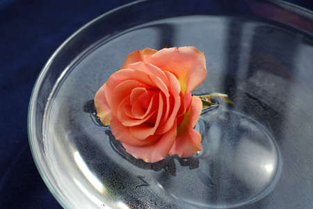 Rose blossom floating in water