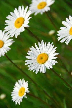 beatiful: Beatiful summer daisies Stock Photo