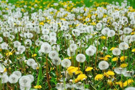 Dandelion field photo