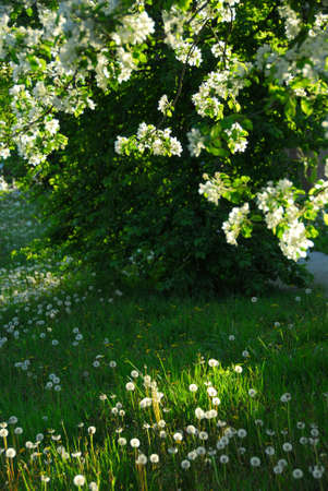 Spring orchard in late evening sun photo