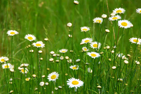 daisy stem: Wild daisies growing in a green field