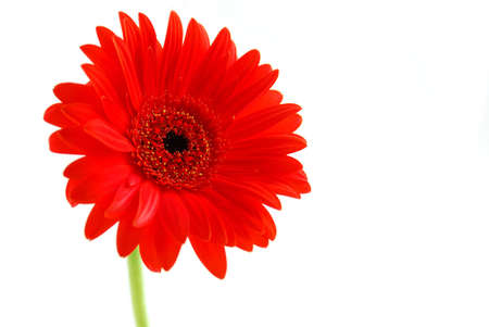 Red gerbera flower on white background with a stem Stock Photo