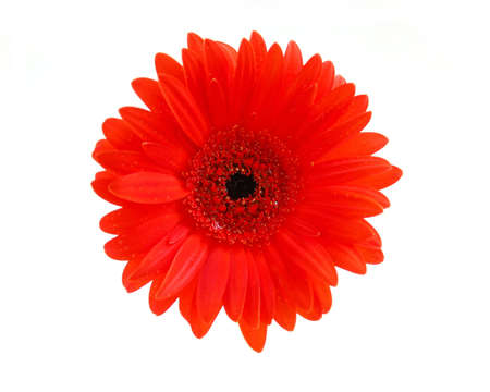 Red gerbera flower on white background, top view Stock Photo - 422493