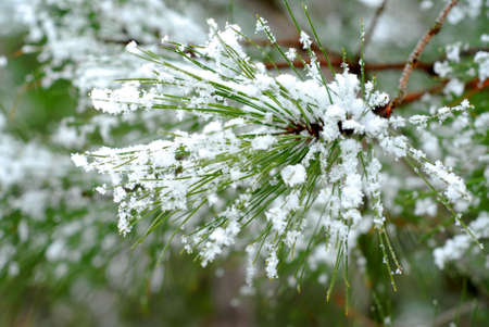 Pine needles with snowflakes; single snowflakes are visible at full size. Stock Photo - 422467