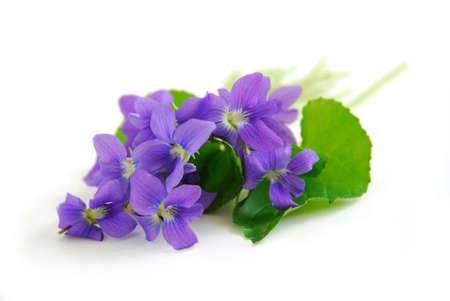 Wild spring violets on white background