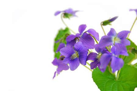violets: Wild spring violets on white background, corner Stock Photo