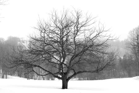 Apple tree in winter, black and white Stock Photo - 423947