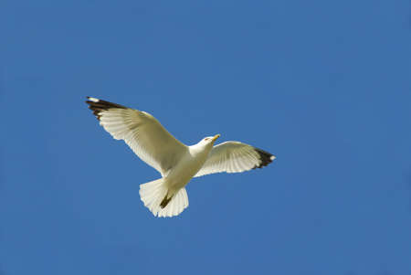 Flying seagul in blue sky Stock Photo - 427683