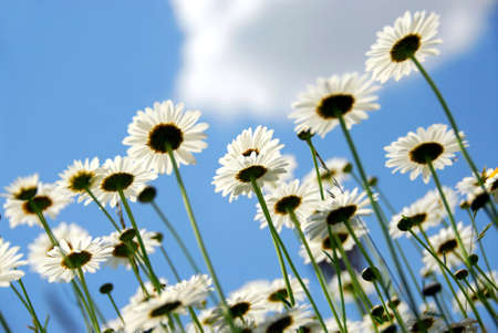 Summer daisies on blue sky background photo