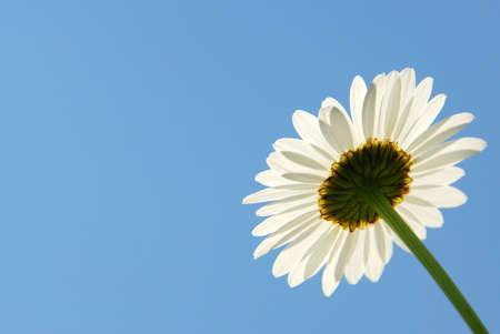 Single daisy flower on blue sky background Imagens