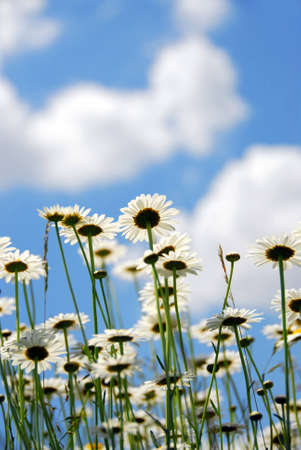 Summer daises with blue sky Stock Photo - 428639