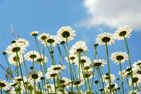 Summer daises with blue sky landscape photo