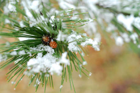 Snowy branch of pine with needles covered in snow
