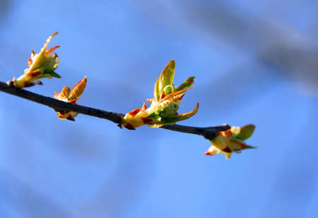 Tree branch with budding leaves at spring time Banco de Imagens