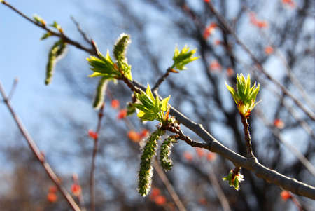 Flowering tree branch with budding leaves at spring time Stock Photo - 433710