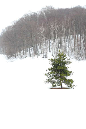 standalone: Winter landscape during snowfall with standalone pine tree