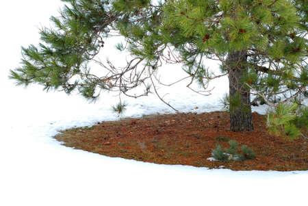 Underneath pine tree in winter Stock Photo - 433709