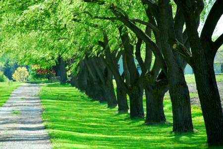 Lane of bright green summer trees moving with breeze photo