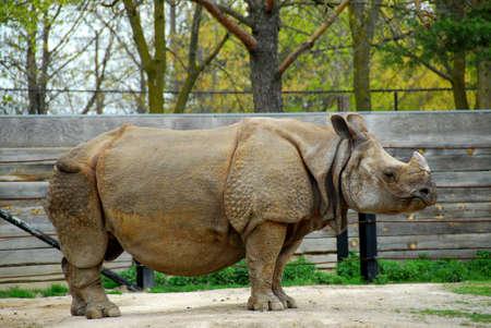 specie: African white rhinoceros