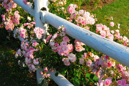 Pink roses at the white painted country house fence photo