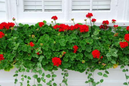 windowsill: Red geraniums on windowsill