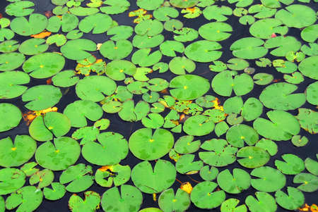 Pattern of green lily pads on a lake, background