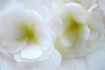 begonia: Extreme macro de una begonia de flor blanca, muy poco DOF  Foto de archivo