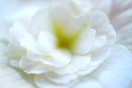 begonia: Extrema macro de una begonia de flor blanca, muy someras DOF