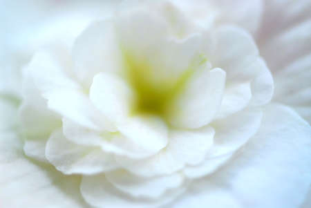 begonia: Extreme macro of a white begonia flower, very shallow dof Stock Photo