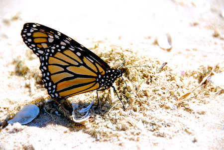beach butterfly: Monarch butterfly on a beach close up