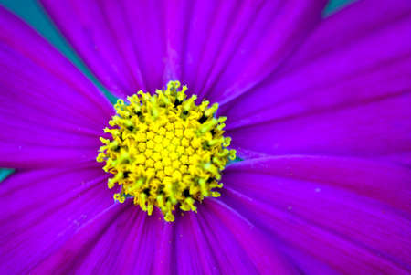 Purple cosmos flower macro photo