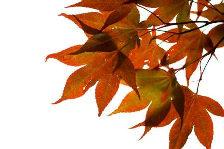 Japanese maple leaves on white background Stock Photo - 510591