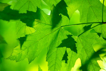 Green maple leaves macro background